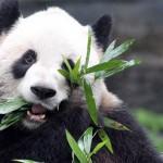 Er Shun eats bamboo
